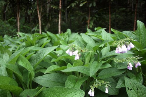 Comfrey