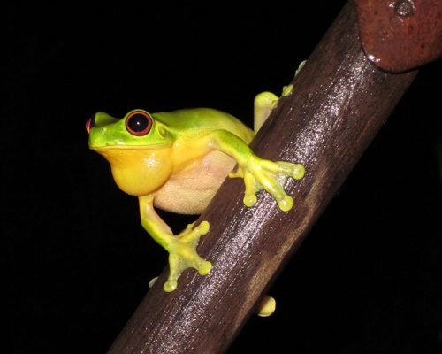 a_red_eyed_frog