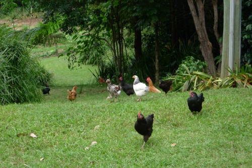 the-happy-hens