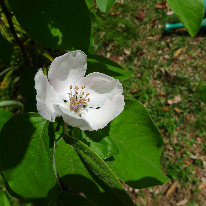 the three time quince is flowering - Quince Flower
