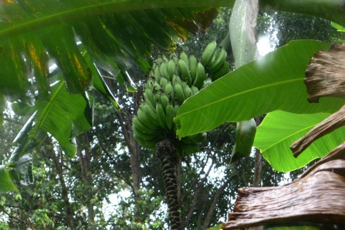 bananas-thriving.