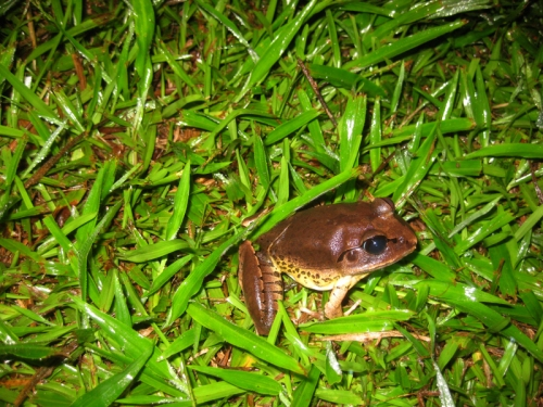 great-barred-frog