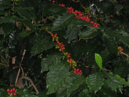 coffee-ready-for-harvest