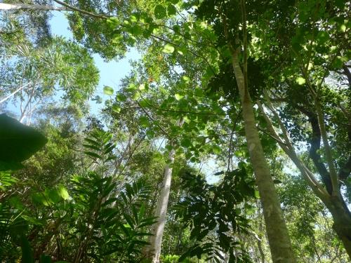 giant-stinging-tree-round-leaves.