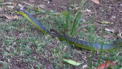 tree-snake