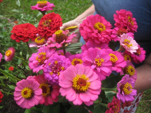 zinnias-for-Ms-Minnie