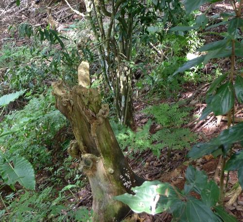 coral-tree-stump