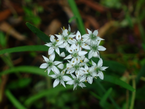onion-chive-flower