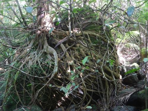 gotcha--rock-and-sand-paper-fig-tree