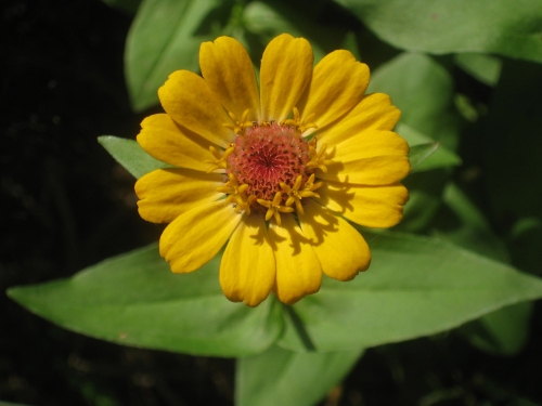 yellow-zinnia