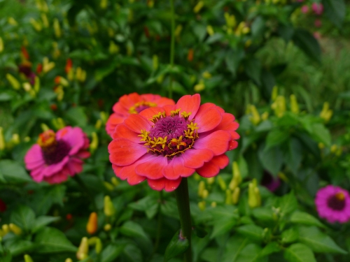 zinnia-in-garden-may-3