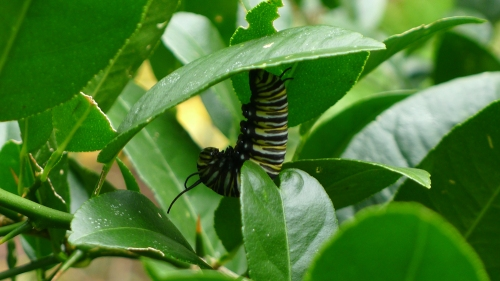 ready-to-pupate