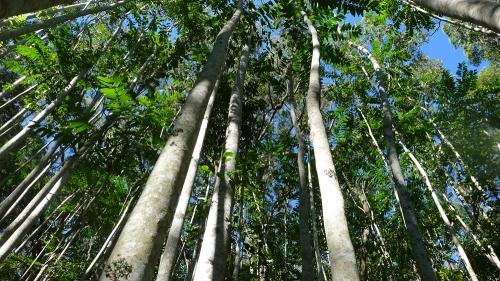 pencil-cedar-forest