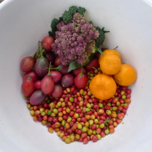 quick-harvest,-coffee-cherry,-tree-tomato,