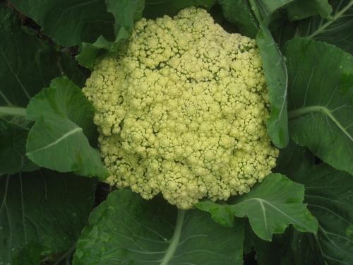 first-white-cauliflower
