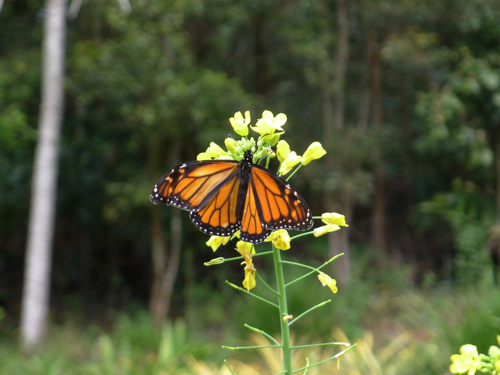 monarch-late-in-August,-unusual.