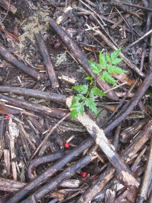 red-cedar-and-fungi