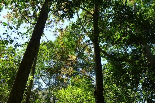 red-cedar-canopy