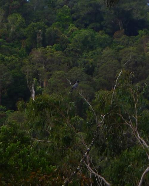 white-cuckoo-shrike
