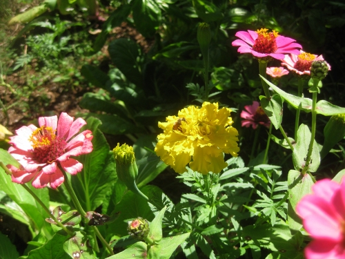 zinnia-marigold-and-a-bee