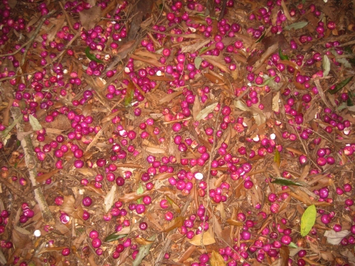 lilly-pilly-seeds