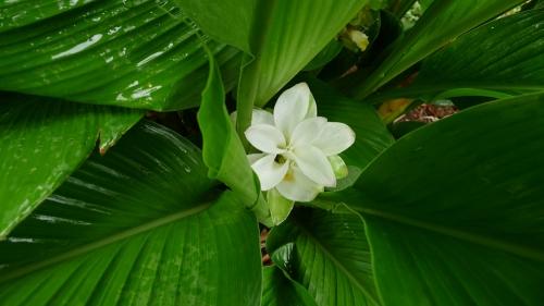 turmeric-flower