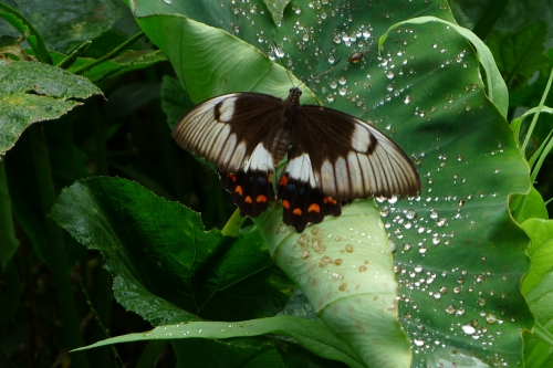 2-orchard-swallowtail