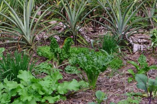 garden-pineapples