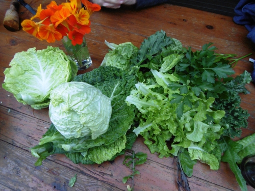 first-cabbage-of-the-season