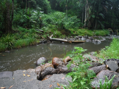 poisoned-coral-tree-fallen-into-the-creek